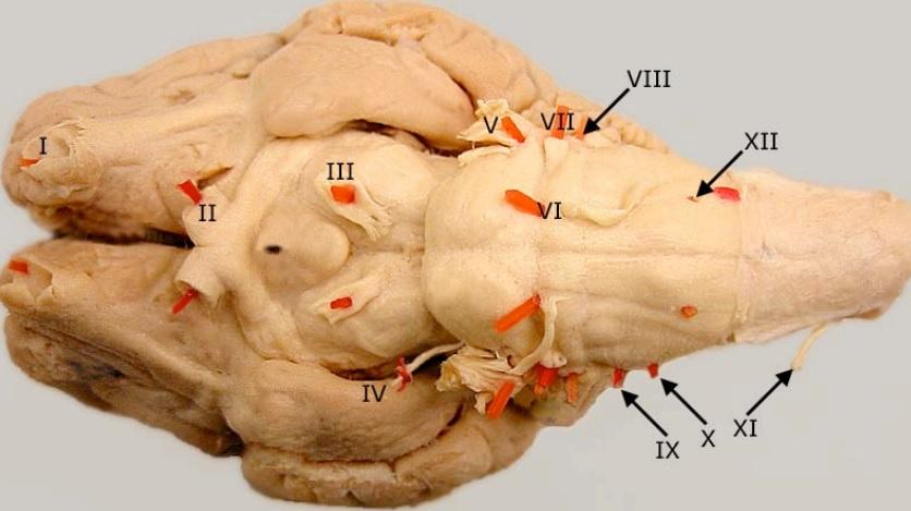 mozek psa