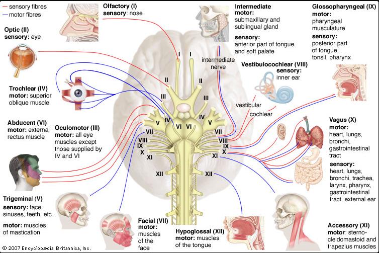 nervové nervy u lidí